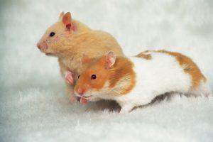 چرا همسترها دعوا می کنند؟ | دام و پت