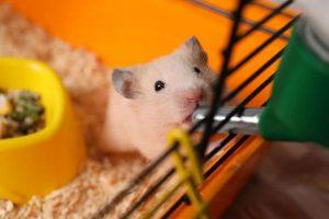 چرا همستر من چشم هایش را می بندد؟ | دام و