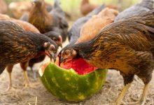 غذاهای سمی برای مرغ های خانگی | دام و پت