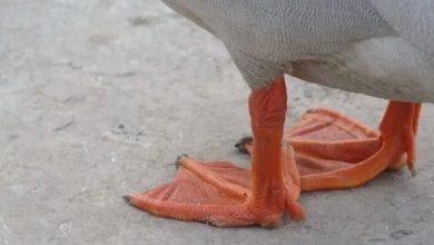 لنگیدن اردک ها، از علل تا درمان   دام وپت