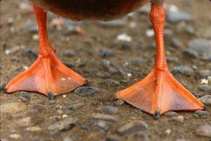 مزایای پای اردک برای سگ | دام و پت