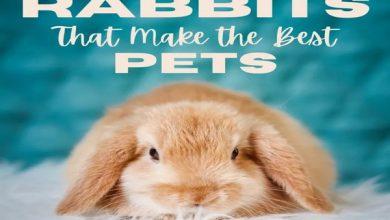 بهترین نژاد خرگوش برای نگهداری در خانه | دام و پت