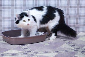 چرا گربه من ادرار نمی کند؟   دام و پت