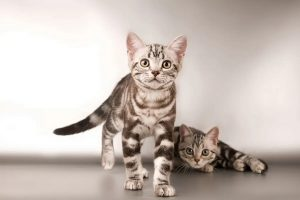 گرانترین نژاد گربه در جهان | دام و پت