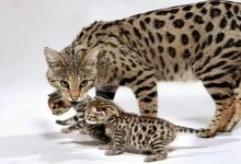 گرانترین نژاد گربه در جهان   دام و پت