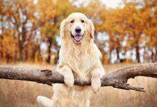 شایع ترین علائم تنهایی در سگ ها   دام و پت