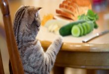 30 غذای انسانی که گربه می تواند بخورد   دام و پت