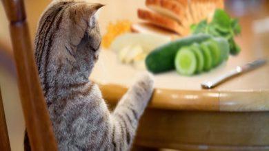 30 غذای انسانی که گربه می تواند بخورد | دام و پت