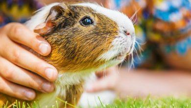 خطرات نگه داری از خوکچه هندی | دام و پت