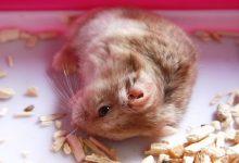 شایع ترین علائم مرگ همستر   دام و پت