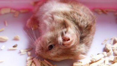 شایع ترین علائم مرگ همستر | دام و پت