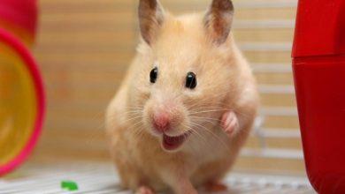 خوشحال کردن همستر و راهکارهای عملی آن | دام و پت