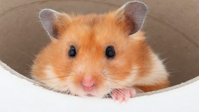 همستر نر بهتر است یا همستر ماده؟   دام و پت