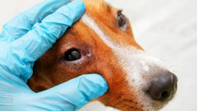 شایع ترین علل قرمزی چشم سگ و درمان آنها | دام و پت