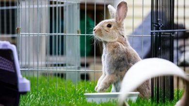 حذف بوی بد آمونیاک در ادرار خرگوش | دام و پت