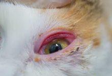 تبخال گربه چیست و چه علائمی دارد؟ | دام و پت