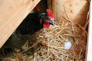 قطع تخم گذاری در مرغ ها | دام و پت