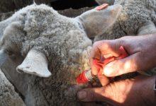 راهنمای کامل واکسیناسیون گوسفندان | دام و پت