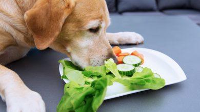 غذای گیاهی برای سگ | دام و پت