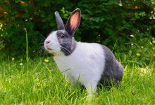 ملنا در خرگوش | دام و پت