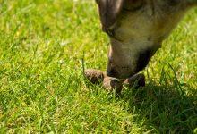 شایع ترین علل خوردن مدفوع در سگ ها   دام و پت
