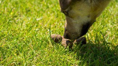 شایع ترین علل خوردن مدفوع در سگ ها | دام و پت