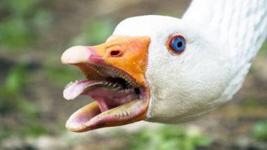 آیا اردک ها گاز می گیرند؟   دام و پت