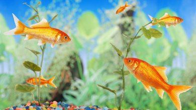 خطرات نگهداری از ماهی زینتی و آکواریومی   دام و پت