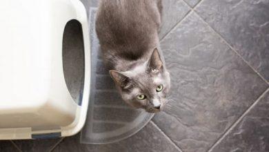 التهاب مثانه در گربه ها | دام و پت