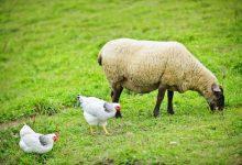 نگهداری گوسفند با مرغ   دام و پت