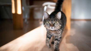 خش خش کردن گربه های خانگی | دام و پت