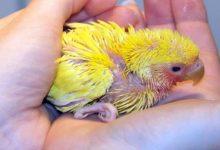 مراقبت از مرغ عشق تازه متولد شده   دام و پت