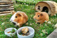 چرا خوکچه هندی خانگی همیشه گرسنه است؟  دام و پت