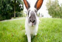 پنجه های سبز خرگوش نشان دهنده چیست؟ 5 | دام و پت