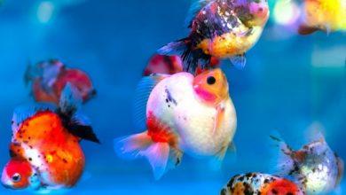 چرا ماهی ها یکدیگر را تعقیب می کنند؟   دام و پت