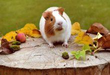 چگونه به کاهش وزن همستر کمک کنیم؟   دام و پت