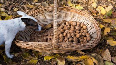 آیا گردو برای سگ ها سمی است؟ | دام و پت