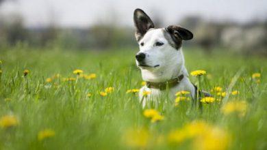 7 خطر در بهار برای سگ ها | دام و پت