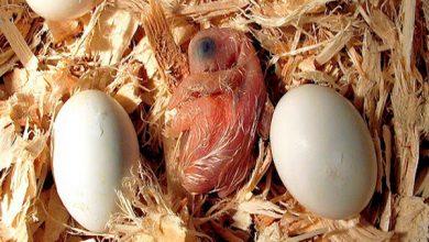چرا طوطی تخم هایش را می شکند؟   دام و پت